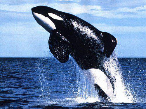 baleine aftral
